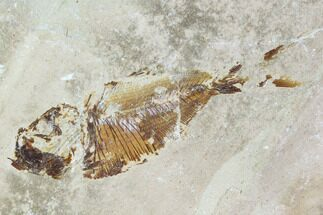 Armigatus sp. - Fossils For Sale - #110835