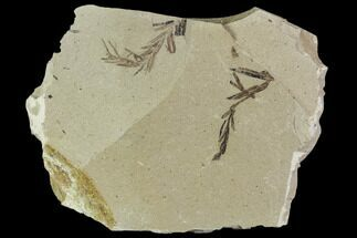 Metasequoia (Dawn Redwood) - Fossils For Sale - #110859