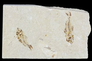 Two Cretaceous Fossil Fish (Armigatus) - Lebanon For Sale, #110846