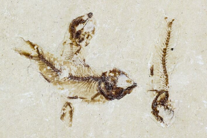 Three Cretaceous Fossil Fish (Armigatus) - Lebanon