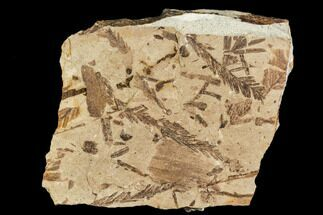 "Buy 3.2"" Metasequoia Fossil Plate - Cache Creek, BC - #110908"