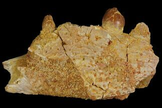 "2.2"" Crocodile Jaw Section - Composite Tooth For Sale, #110480"