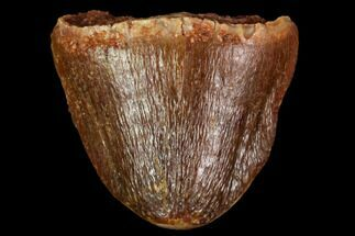 "Buy .5"" Crocodylomorph Tooth - Morocco - #109948"