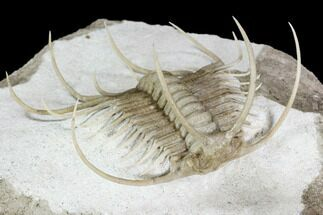 Buy Insane Boedaspis Trilobite - Incredible Preparation - #51331