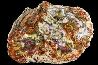 "16.2"" Petrified Wood (Araucarioxylon) Slab - Arizona For Sale, #111110"
