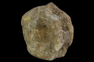 "4.1"" Hadrosaur Vertebra Centrum - Alberta (Disposition #000024-25) For Sale, #111134"