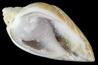 "1.55"" Chalcedony Replaced Gastropod With Druzy Quartz - India For Sale, #111169"