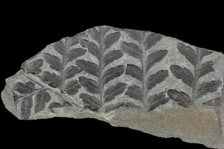 "Buy 4.5"" Fossil Fern (Sphenopteris) Plate - Pottsville Formation, Alabama - #111196"