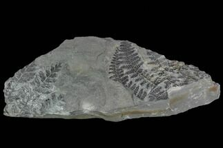 Sphenopteris pottsvillea, Lygenopteris hoeninghausi - Fossils For Sale - #111198