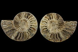 Choffaticeras sp. - Fossils For Sale - #111312