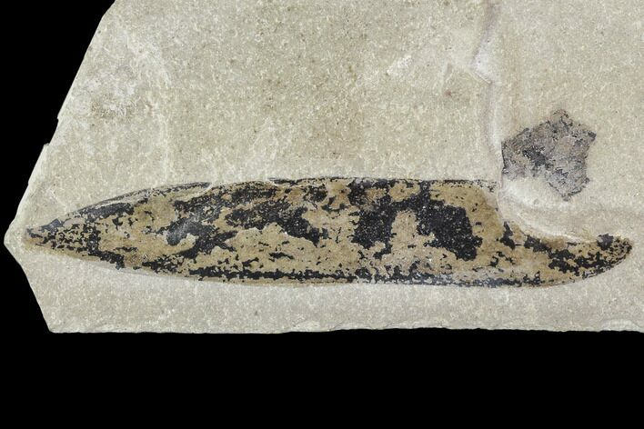 "3.5"" Fossil Legume (Mimosites) Pod - Green River Formation, Utah"