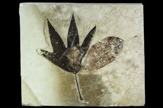 Buy Two Fossil Leaves (Sycamore and Ash) - Green River Formation, Utah - #111460