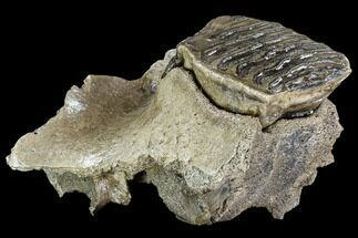 "7.3"" Woolly Mammoth Jaw Section - Germany For Sale, #111761"