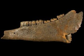"Buy 12.9"" Fossil Horse (Equus) Jaw - River Meuse, Germany - #111862"