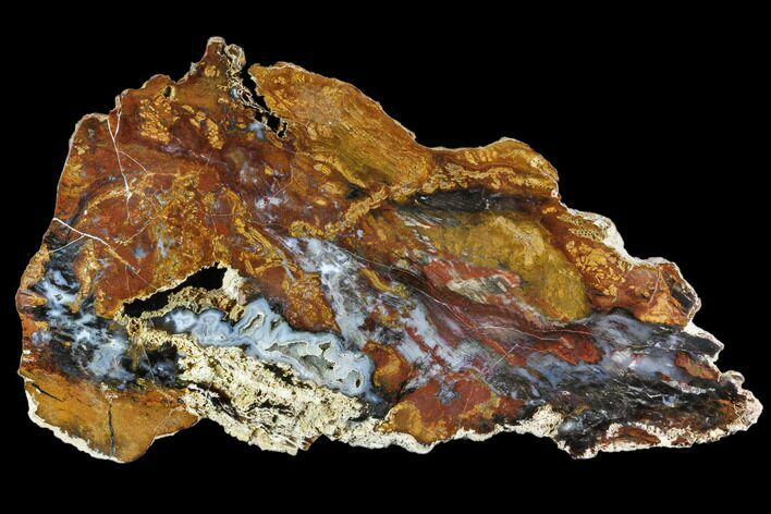 "11"" Colorful, Hubbard Basin Petrified Wood Slab - Nevada"