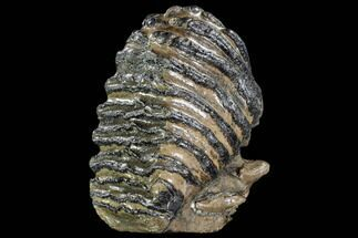 "Buy 8.2"" Adult (M2) Southern Mammoth Molar - Hungary - #111826"