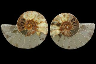 Cleoniceras - Fossils For Sale - #111531