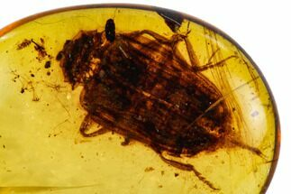 Buy Fossil Beetle (Coleoptera) In Amber - Myanmar - #112363