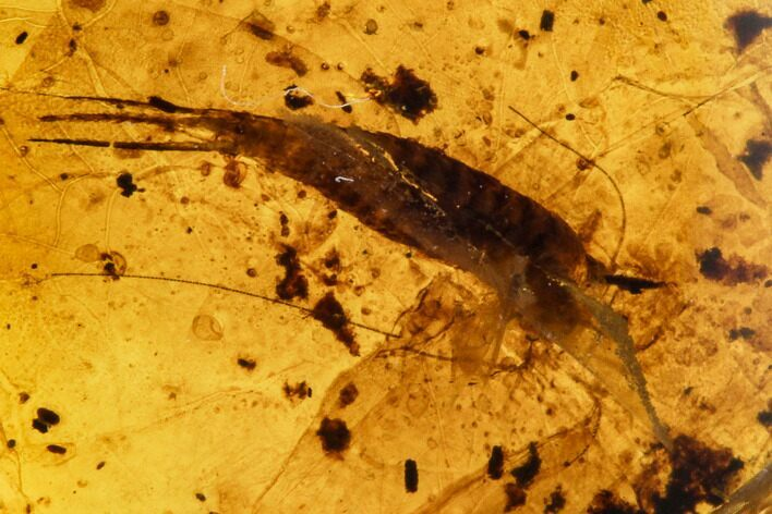 Fossil Bristletail (Archaeognatha) In Amber - Myanmar