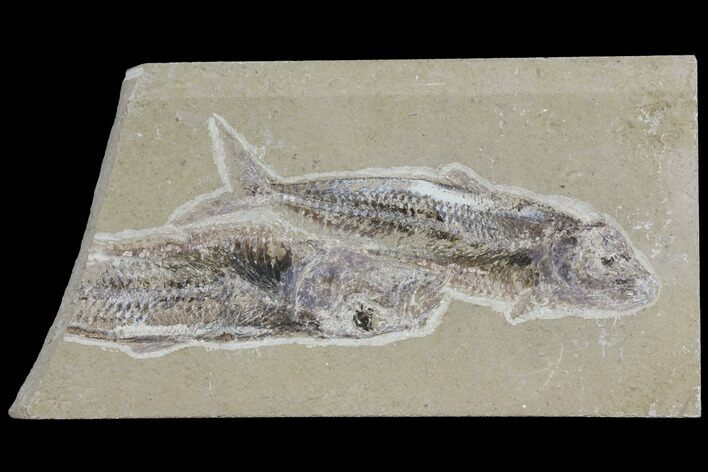 Two Cretaceous Fossil Fish (Scombroclupea) - Lebanon