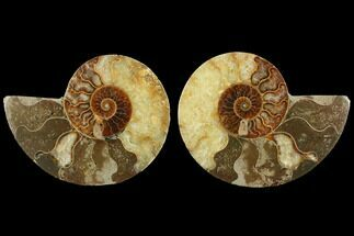 Cleoniceras - Fossils For Sale - #111522