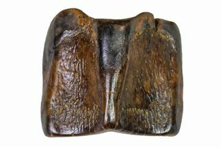 "Buy .27"" Fossil Hadrosaur (Edmontosaurus) Shed Tooth- Montana - #110932"