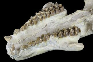 "Buy 7.1"" Oreodont (Merycoidodon) Partial Skull - Wyoming - #113029"