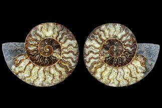 Cleoniceras - Fossils For Sale - #113058