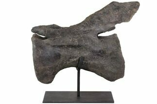 Diplodocus sp. - Fossils For Sale - #113079