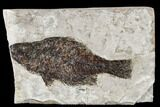"5.1"" Miocene Fossil Fish From Nebraska - New Find - #113173-1"