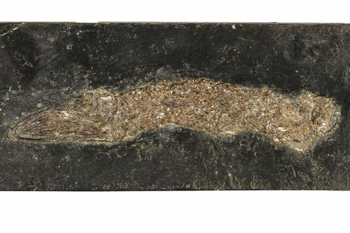 "8.1"" Eocene Garfish (Atractosteus) - Messel Shale, Germany"