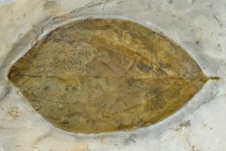 "Buy 3.2"" Fossil Dogwood Leaf (Cornus) - Montana - #113248"