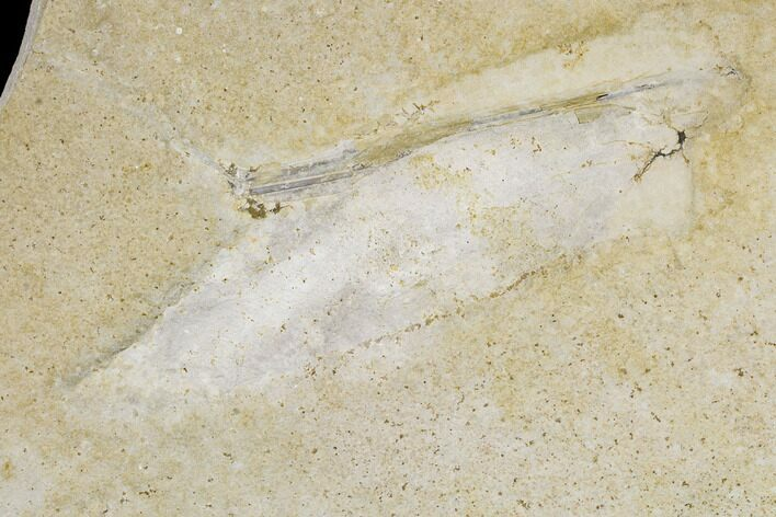 "5.7"" Soft-Bodied Fossil Squid (Plesiotheuthis) - Solnhofen, Germany"