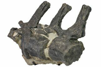 "28"" Sandstone Block With Three Articulated Diplodocus Vertebrae For Sale, #113345"