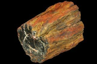 "9.3"" Long Petrified Wood (Araucaria) Log - Circle Cliffs, Utah For Sale, #113282"