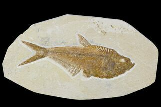 "Detailed, 5.3"" Fossil Fish (Diplomystus) Plate - Wyoming For Sale, #113300"