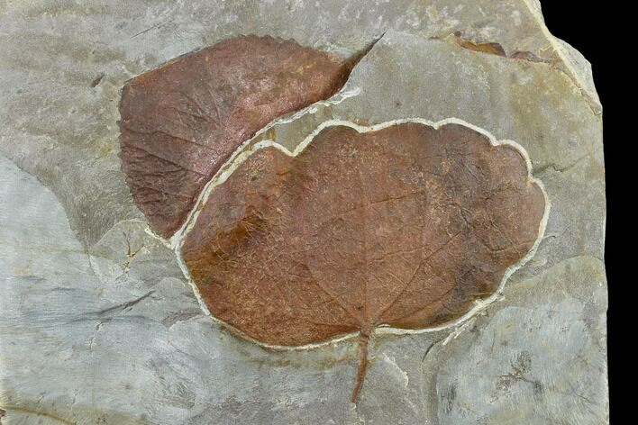 Two Fossil Leaves (Zizyphoides And Davidia) - Montana