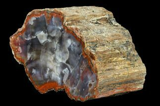"Buy 7.1"" Vibrantly Colored, Polished Petrified Wood Section - Arizona - #113383"
