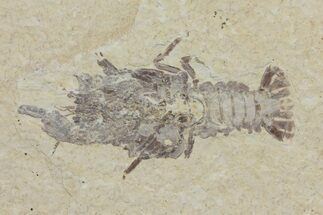 "Buy Rare, 2.1"" Fossil Crayfish (Procambarus) - Green River Formation - #113461"