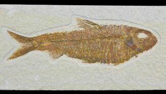 "4.9"" Detailed Fossil Fish (Knightia) - Wyoming For Sale, #113579"