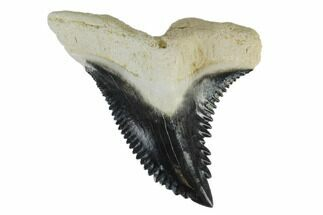 "1.35"" Fossil Shark Tooth (Hemipristis) - Bone Valley, Florida For Sale, #113819"