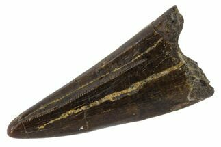 "1.43"" Tyrannosaur Premax Tooth - Judith River Formation, Montana For Sale, #114002"