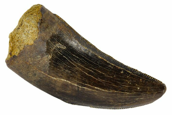 "Serrated, 1.49"" Tyrannosaur Tooth - Judith River Formation, Montana"