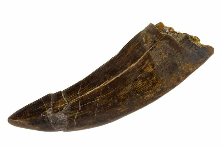"Serrated, 2.35"" Tyrannosaur Tooth - Judith River Formation, Montana"