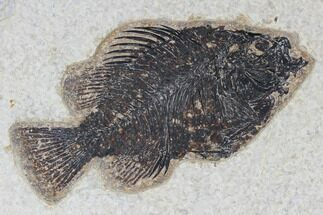 "4.3"" Fossil Fish (Cockerellites) - Green River Formation For Sale, #113852"