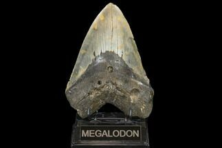 "Buy 6.01"" Fossil Megalodon Tooth - 50+ Foot Prehistoric Shark - #114403"