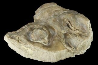 Inocerasmus sp - Fossils For Sale - #114033
