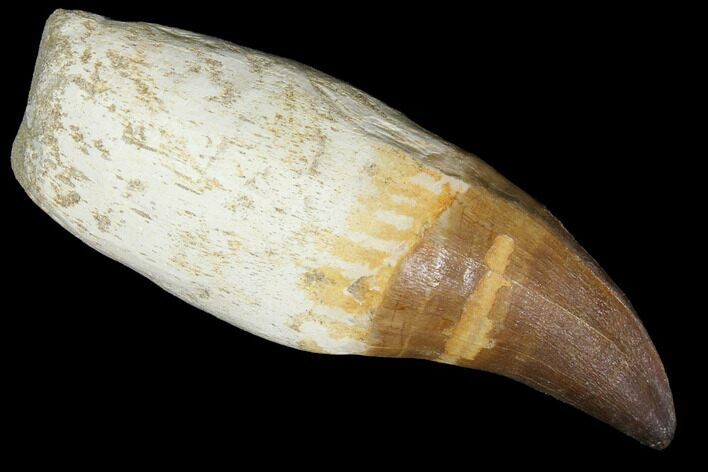 "4.8"" Rooted Mosasaur (Prognathodon) Tooth"