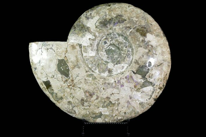 "Massive, 22.5"" Ammonite Fossil With Stand"