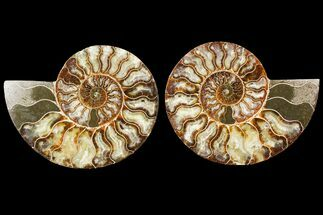 Cleoniceras - Fossils For Sale - #115314